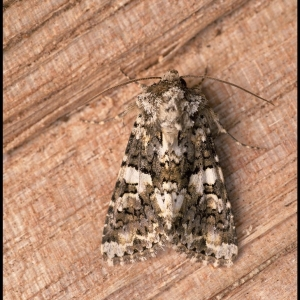 Marbled Coronet moth