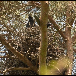 young Ravens in the nest