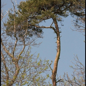 Scots Pine containing a Ravens nest