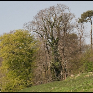 distant view of Scots Pine containing a Ravens nest