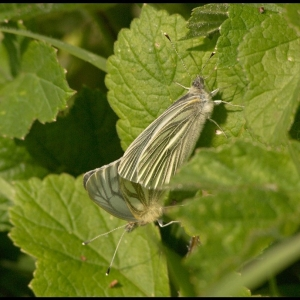 mating Green-veined White butterflies