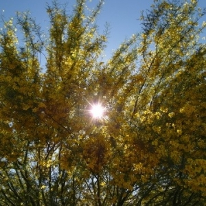 Flowers thread- Palo Verde blooms