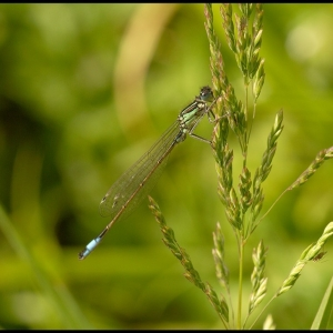 female Blue-tailed damselfly