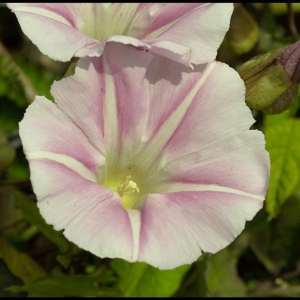 (Greater ?) Bindweed