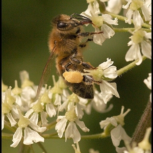 Honey Bee on Hogweed