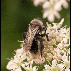 Bee on Hogweed