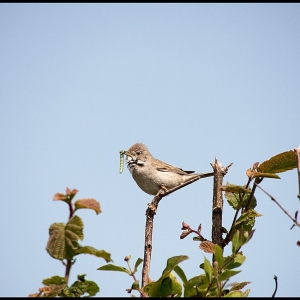 adult Common Whitethroat with food for young