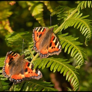 two Small Tortoiseshell butterflies on bracken