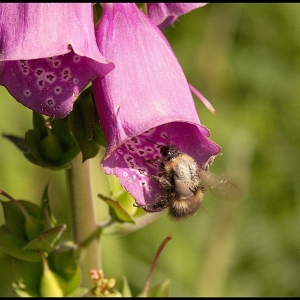Bumble Bee at Foxglove
