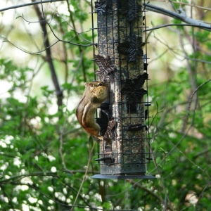 Birds_and_chipmunk_001_Medium_