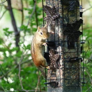 Birds_and_chipmunk_003_Medium_