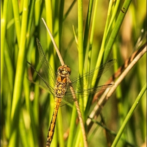 immature male Black Darter