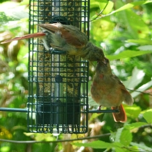 FZ200_Birdfeeder_lurker_007-001_Medium_