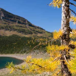 Alpine larch near and far