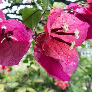 Day 19 - Bougainvillea