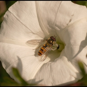 Marmalade Hoverfly feeding on Bindweed pollen