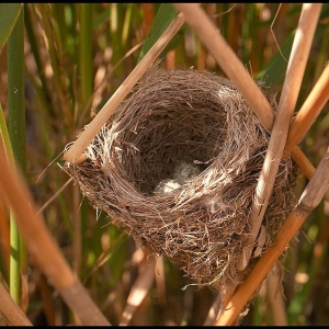 nest of a Reed Warbler
