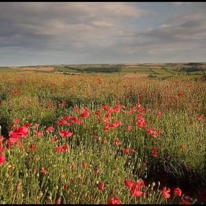 poppies in the corner of a cereal field