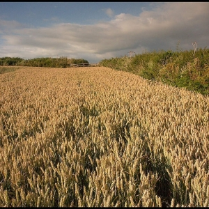 wheat ripening in the evening sun