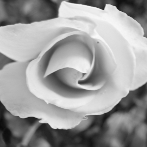 SiJ29 Rose in mono.