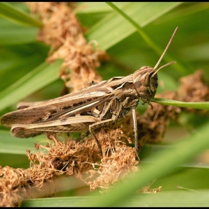 Grasshopper, probably a Common Field Grasshopper