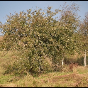 Old cider apple tree