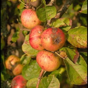 Cider apples