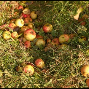 Cider apples (windfalls)