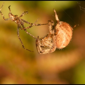 Spider, male and female