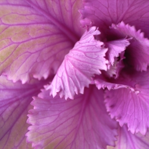 ornimental_cabbage