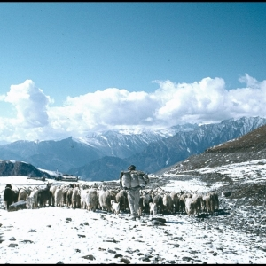 Goats crossing the Rohtang Pass