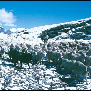 Goats on the Rohtang