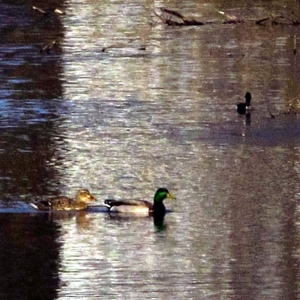 Ducks_003-1_Medium_