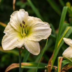 A_lily_for_Lily-0007