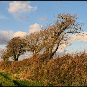 windblown trees in Great Luscombe