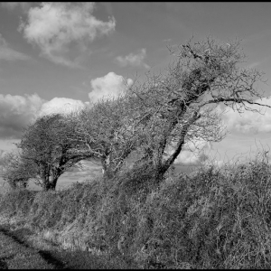 Windblown hedgerow