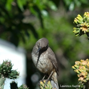 Curved Billed Thrasher 2