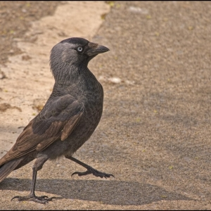 Jackdaw, the decisive moment