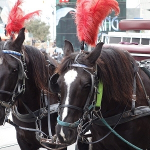 Black Carriage Horses