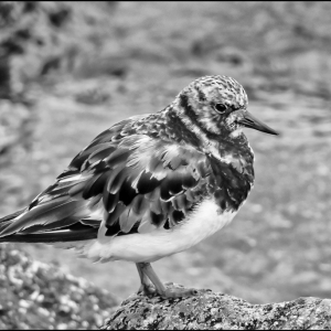Adult Turnstone moulting to winter plumage