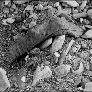 Leaf on shingle