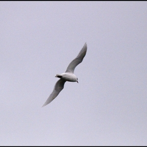 Meditterranean Black-headed Gull