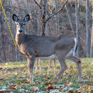 8_legged_deer_009_Medium_