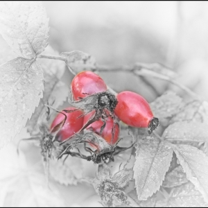 Rose Hips are red