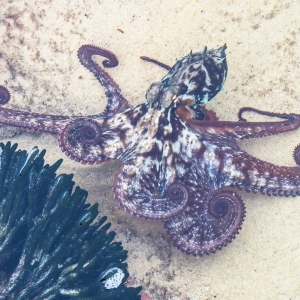 On the move: Sydney octopus