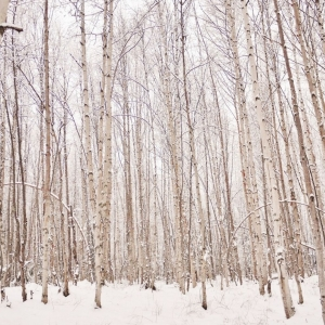 birch trees-winter