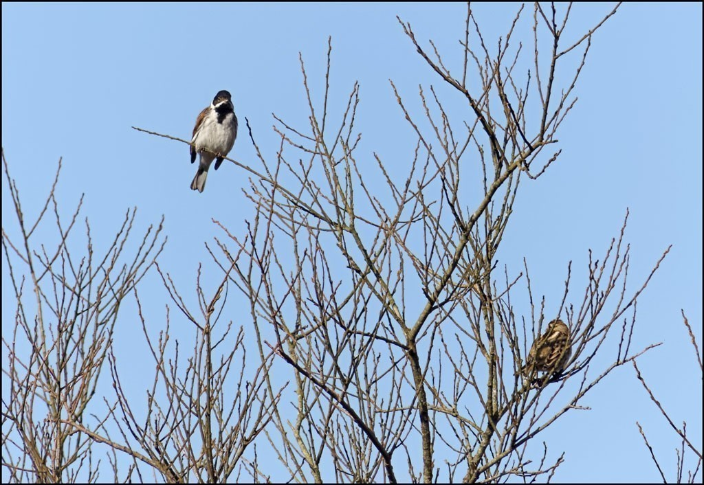 A pair of Reed Bunting