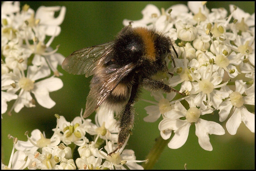 Bumble Bee on Hogweed