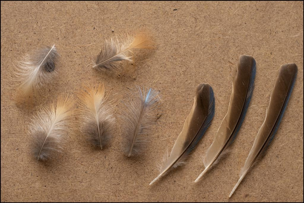 Kingfisher feathers