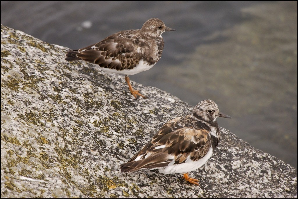 Moulting Turnstones